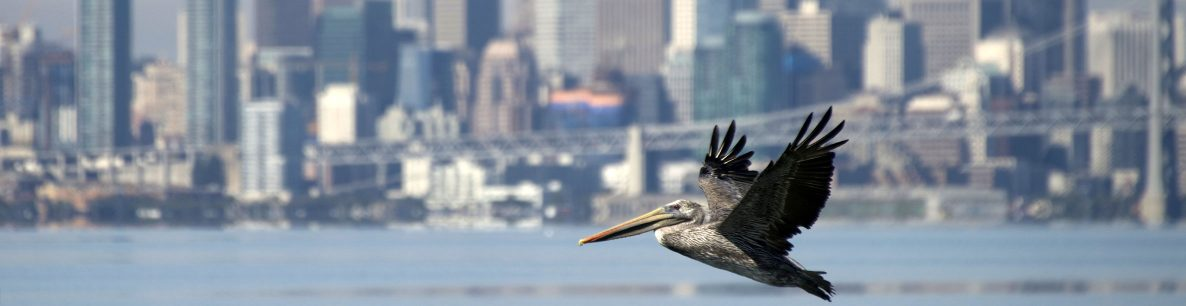 brown pelican in San Francisco Bay