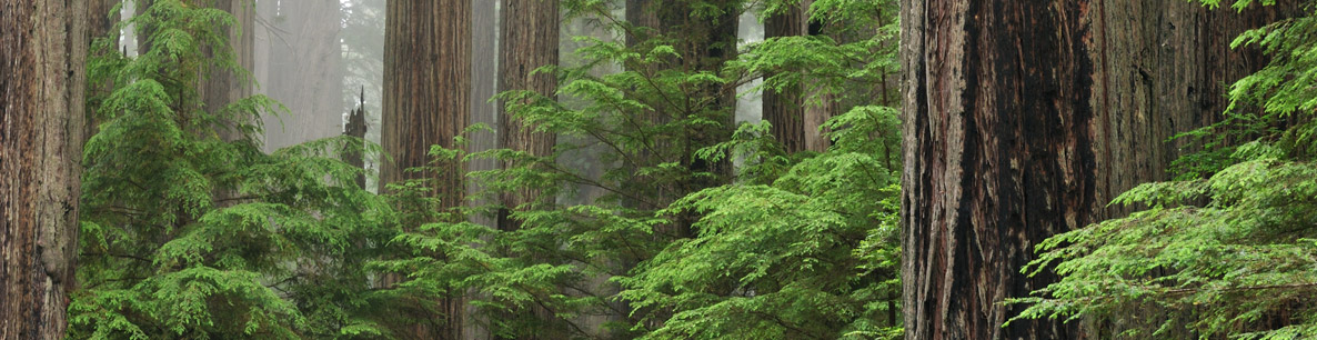 coastal redwoods at Prairie Creek State Park