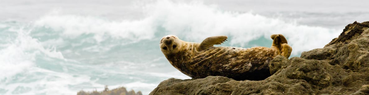 harbor seal on the rocks