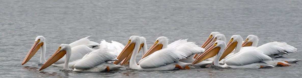 white pelicans at San Joaquin Wildlife Refuge